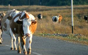 cow.jpg.crop_display[1]