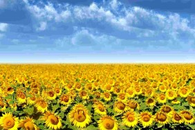 Beautiful_Sunflowers_Wallpapers_laba.ws