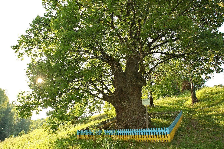 Перлина Чернігівського Полісся: цар-дуб, якому 500 років (Фото)