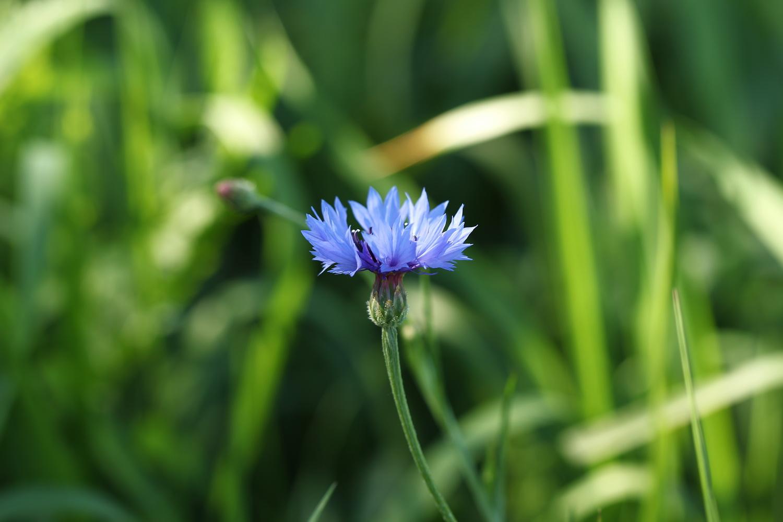 Розкіш поля: букет із польових квітів (Фото)