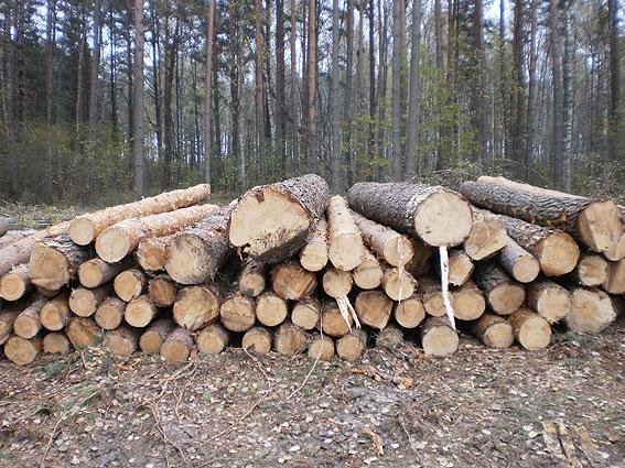 Санітарна вирубка лісу закінчилась знищенням здорових дерев (Фото)