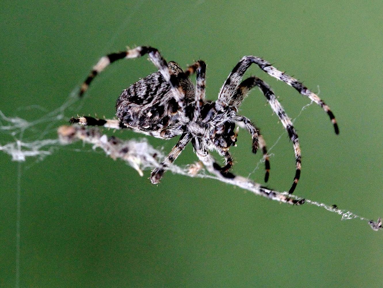 Павуки: непримітні хижаки земної кулі (Фото)