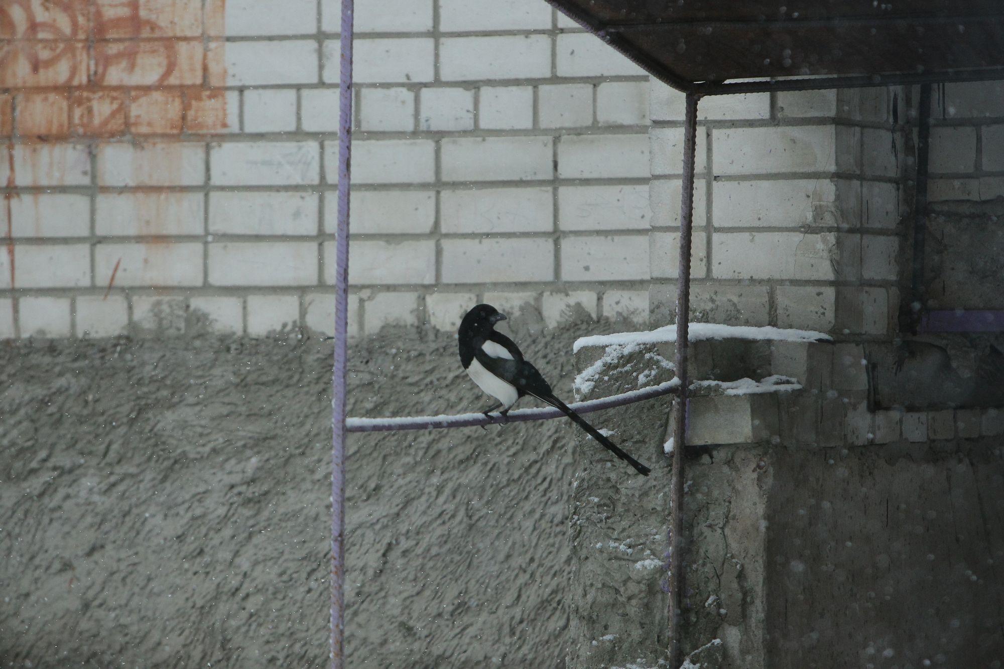 Пернаті «чернігівці»: зимова фотосесія (Фото)