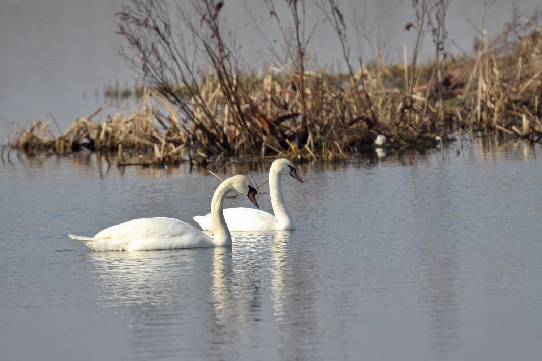 На Чернігівщину прилетіли лебеді (Фото)