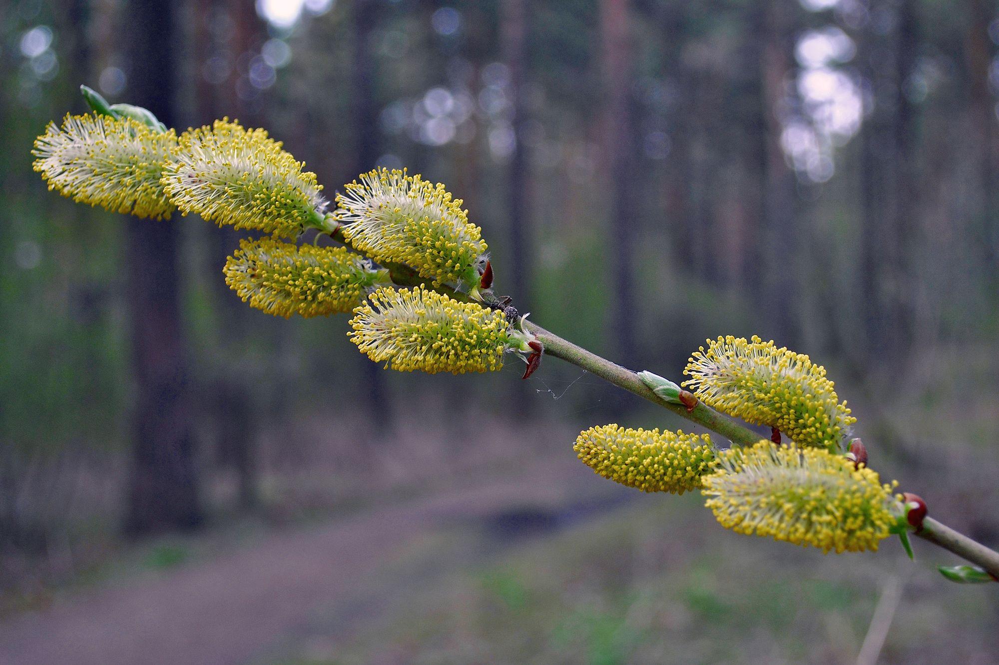 Nature___Seasons___Spring_Beautiful_willow_spring_068463_[1]