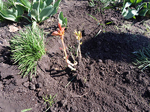 У Ніжині з'явився розарій (Фото)