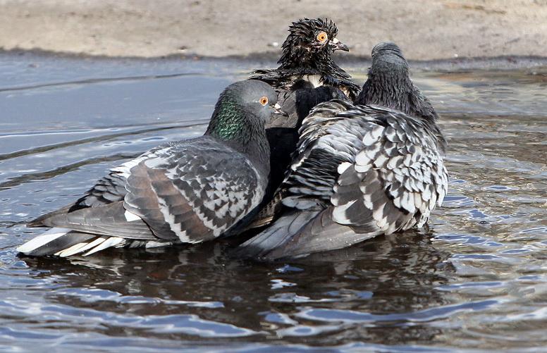 Любов та голуби: про що віщують птахи (Фото)
