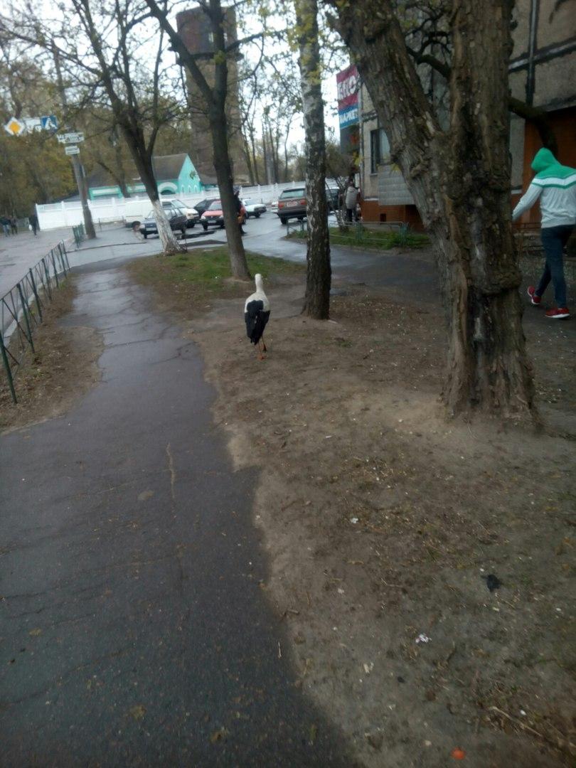 Вулицями Чернігова прогулювався лелека (Фотофакт)