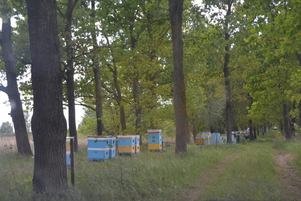 Ніжинські пасічники б'ють на сполох: масово труяться бджоли
