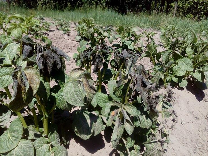На Коропщині замерзли врожаї (Фото)