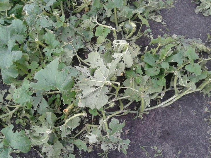 Огірки і кабачки з дірками: наслідки негоди в Локнистому (Фото)