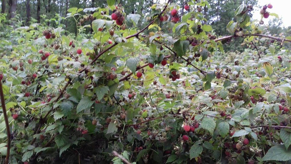 Малиновий рай: ягідний сезон у розпалі на Чернігівщині (Фото)