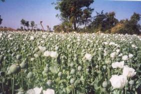 opium-640x426