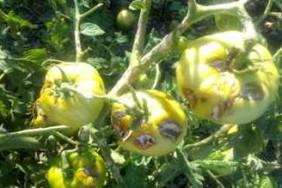 pomidor0308