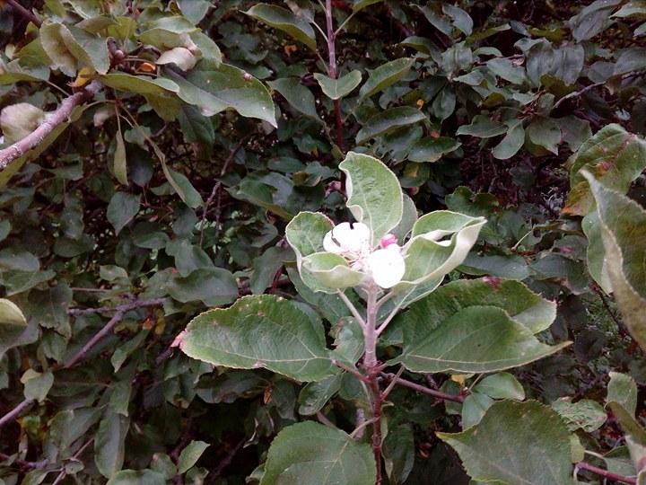 На Чернігівщині зацвіла яблуня (Фото)
