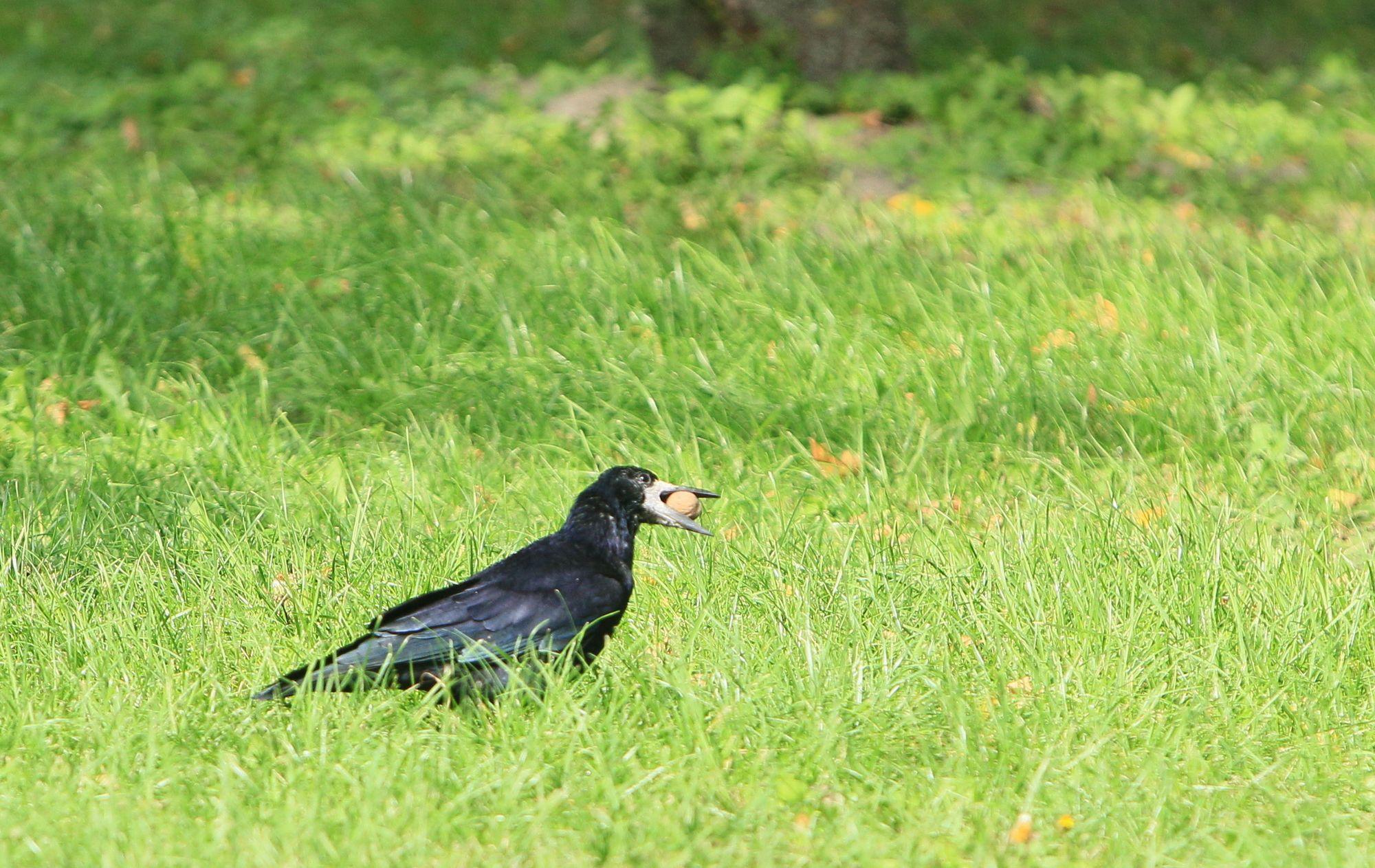 Прогулянка ворона в парку (Фото)