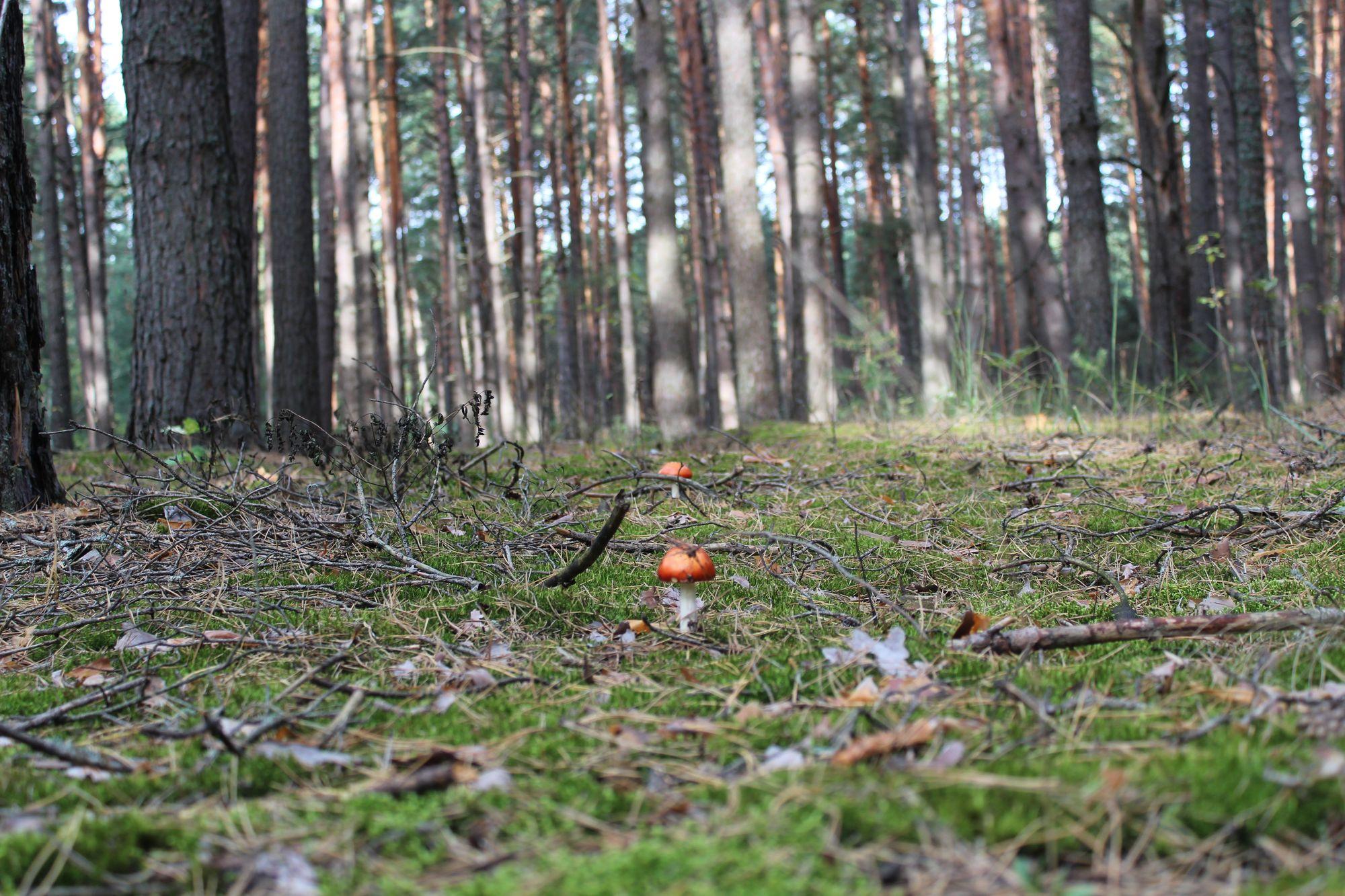 Смертельно красиві гриби чернігівського лісу (Фоторепортаж)