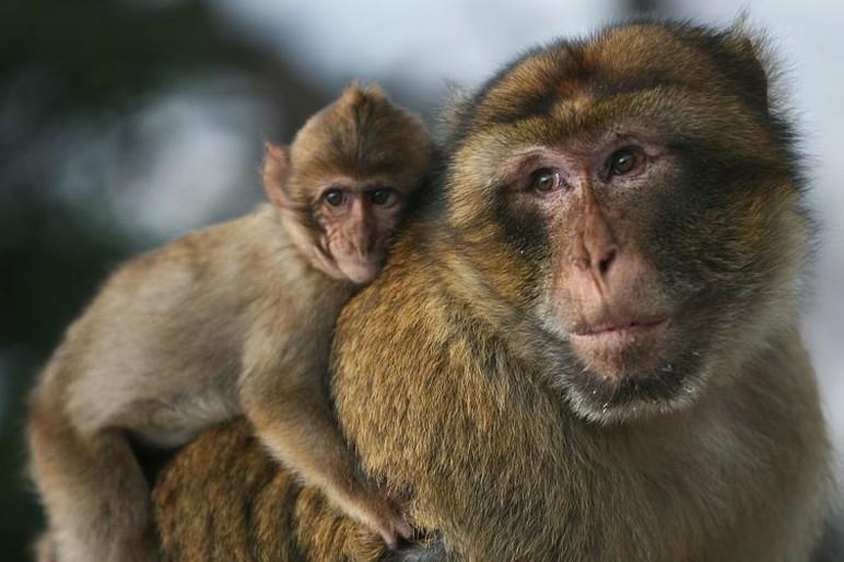 Macaque-4