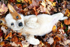 17028365-foster-puppy-came-to-play-in-the-leaves--dogs-cuteimagesnet-1473142241-1000-f0fba24fa0-1492267117[1]