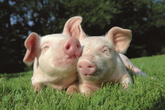 Pigs grazing on the grass field.