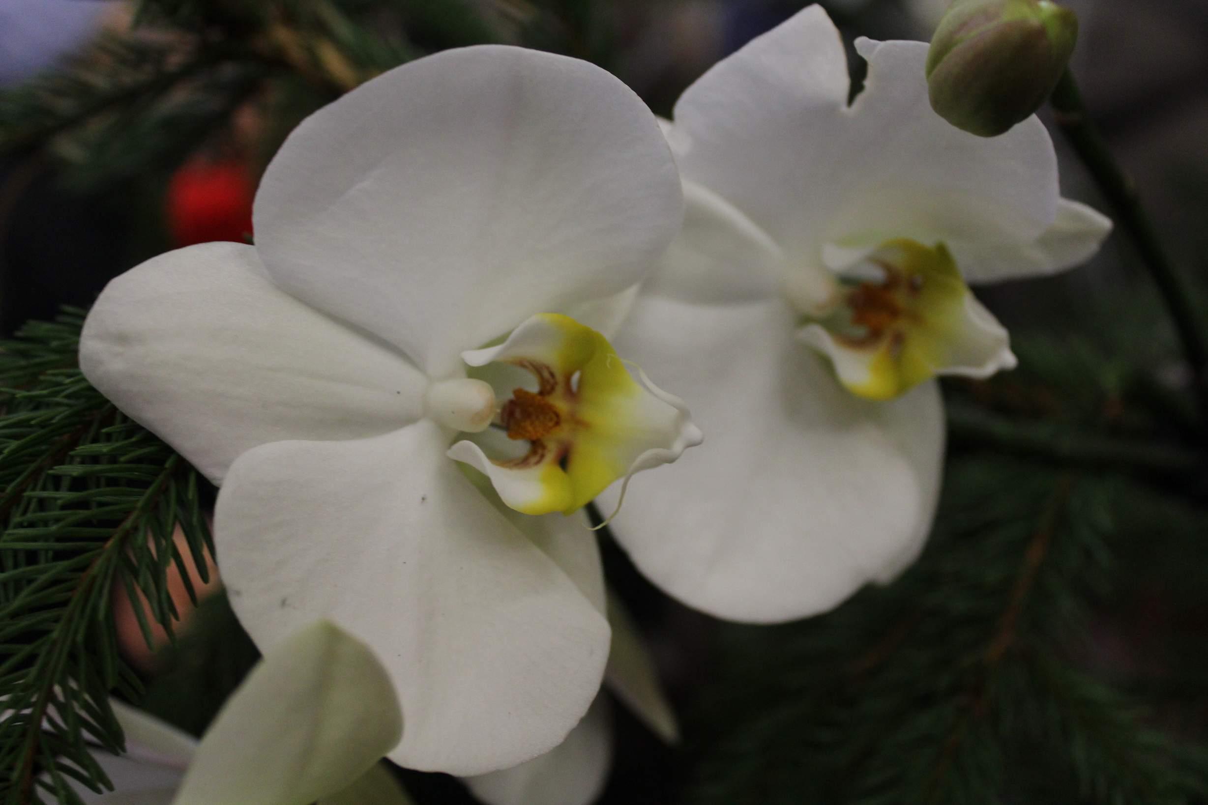 У Катерининській церкві ялинки прикрашені білими орхідеями (Фото)
