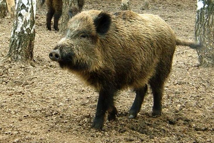 Свиня-дика-кабан-дикий