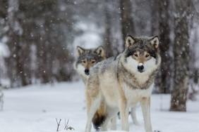 wolves-eyes-winter-snow-trees-bokeh-2K-wallpaper[1]