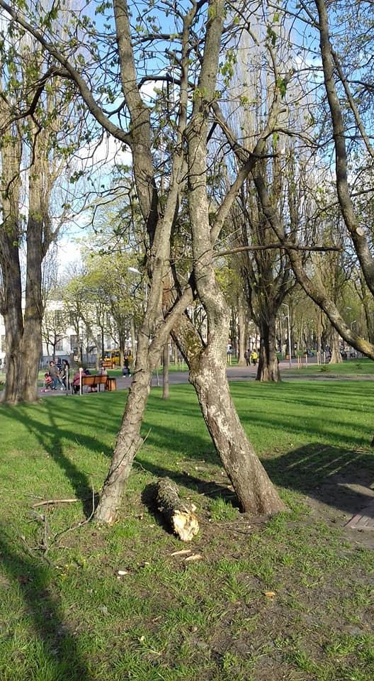 Чернігівців налякало дерево у центрі міста (Фотофакт)