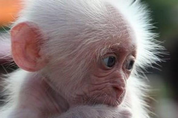 Картинки по запросу народилося мавпеня