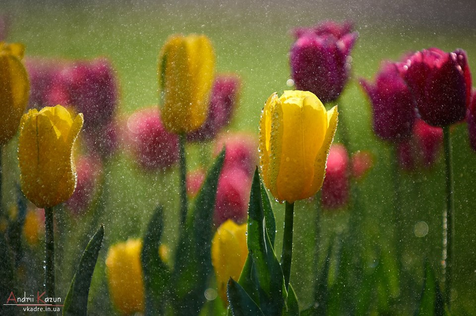 Золоті миттєвості життя: ранок чернігівських тюльпанів (Фото)