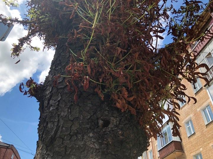 У Чернігові повсихали каштани: біологи назвали причину (Фото)