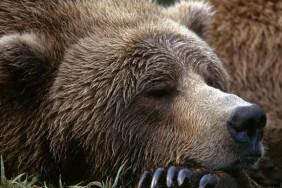 pochemu-medved-soset-lapu-i-spit-zimoj_3[1]