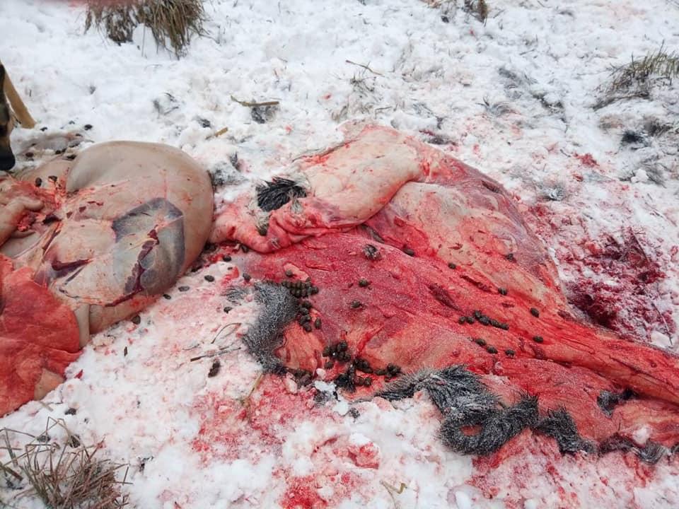 Браконьєри на Ічнянщині вбили лося (Фото 18+)