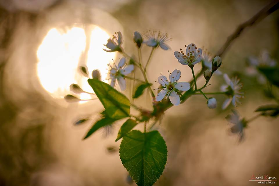На Валу розцвіла сторічна вишня – антипка(Фото)