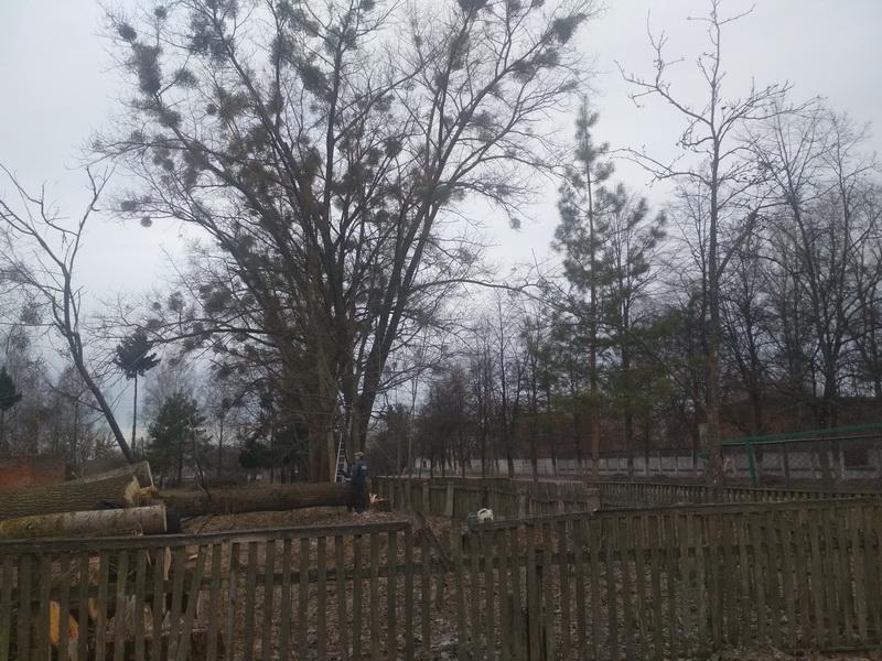 Паразит омела знищує дерева в Любечі та робить їх небезпечними для перехожих (Фото)