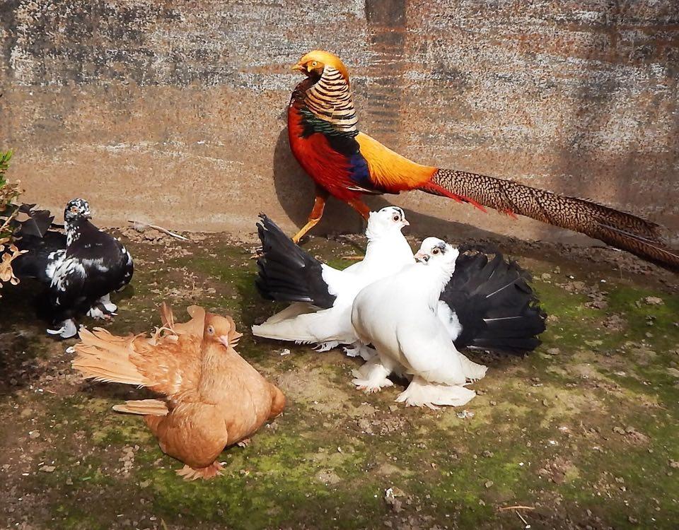 Екзотичний рай: чоловік із Городні розводить декоративних птахів і вирощує лимони (Фото)