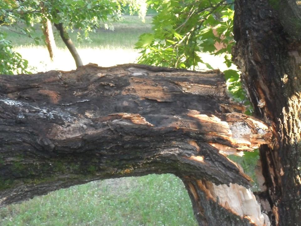 На Рокоссовського блискавка влучила у дерево (Фотофакт)