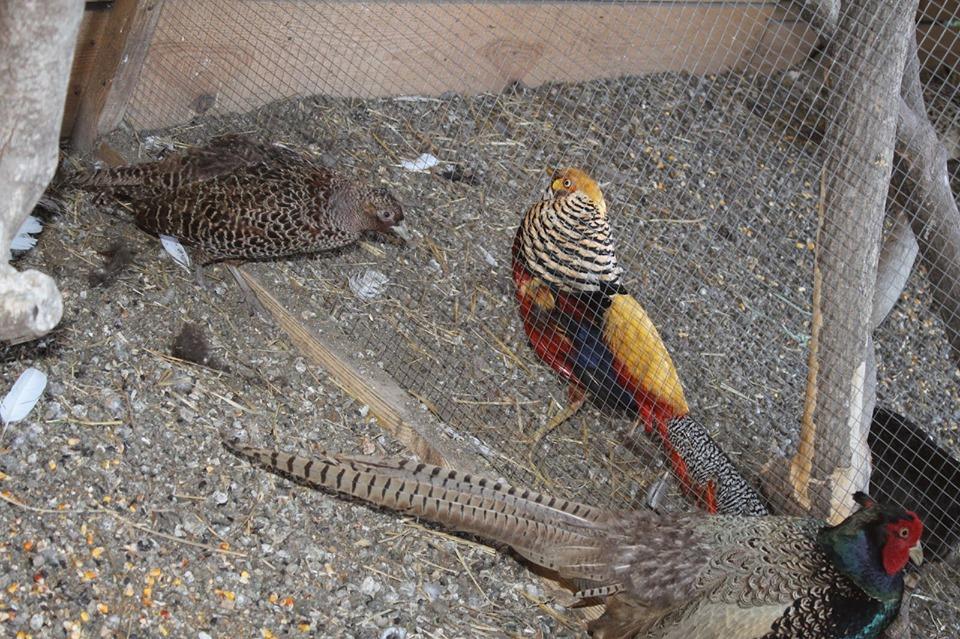Пернате захоплення: на Чернігівщині «колекціонують» заморських птахів (Фото)
