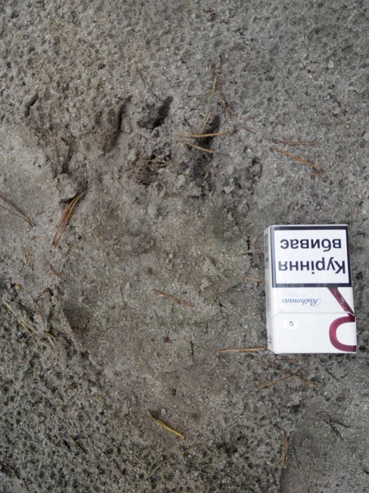 У лісах Сновського району вештається ведмідь (Відео)