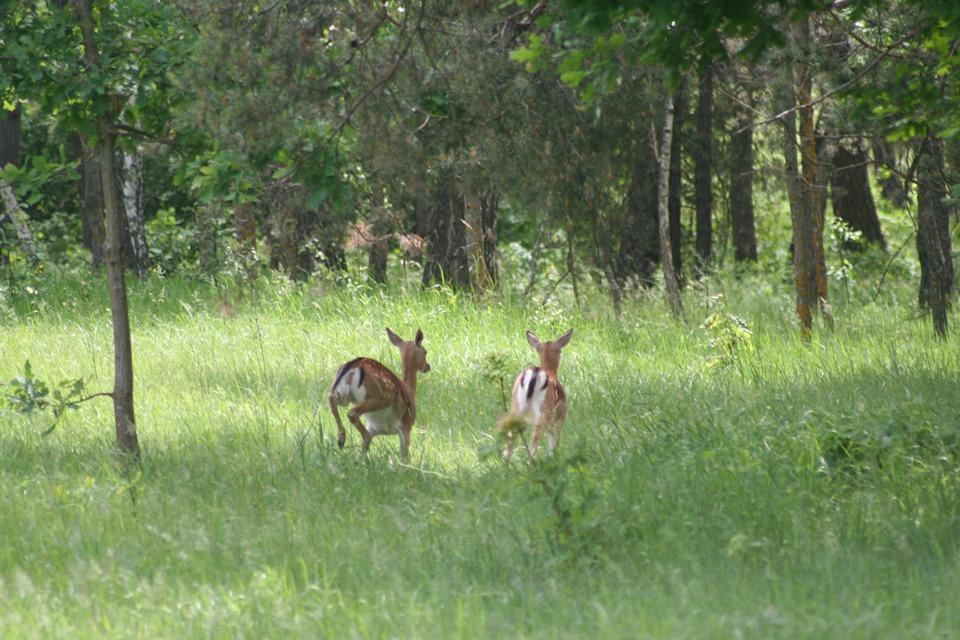 Лані європейські гуляють по парку Чернігівщини (Фото)