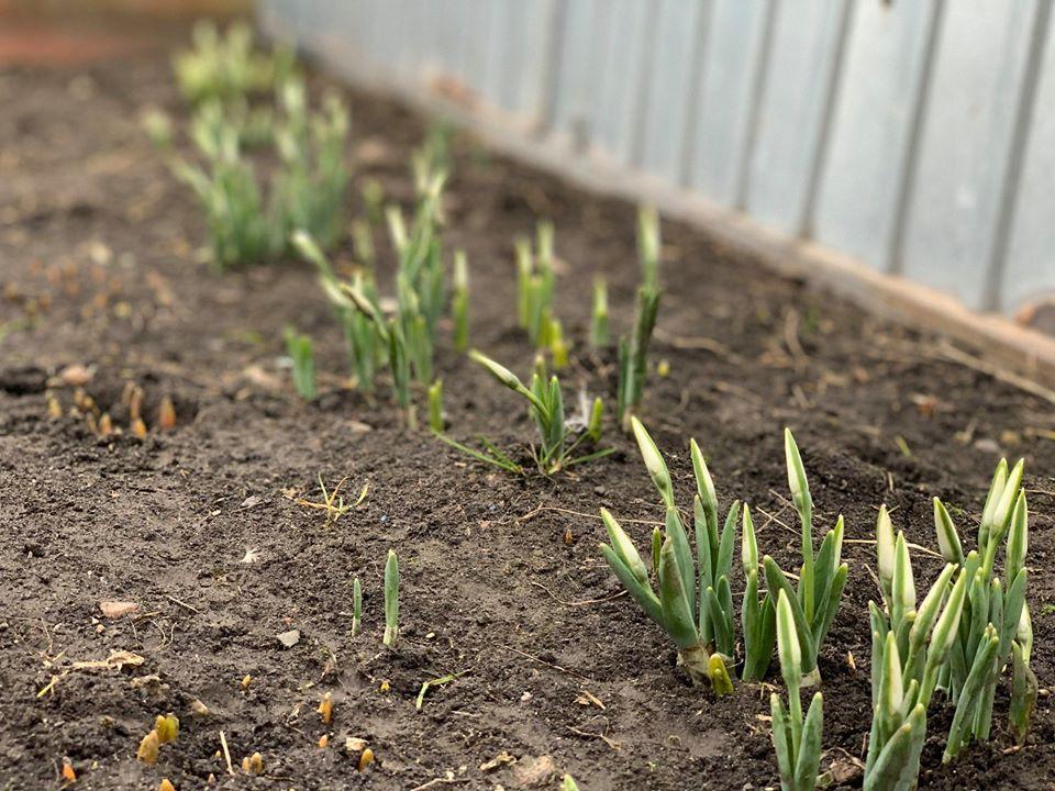 У січні на Чернігівщині розцвіли підсніжники (Фото)