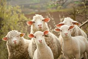 ovci-stado