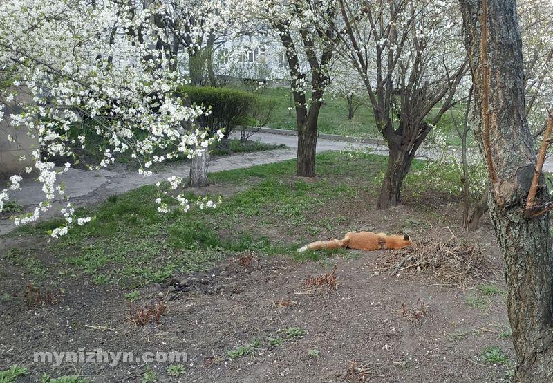 У центрі Ніжина знайшли мертву лисицю (Фото)