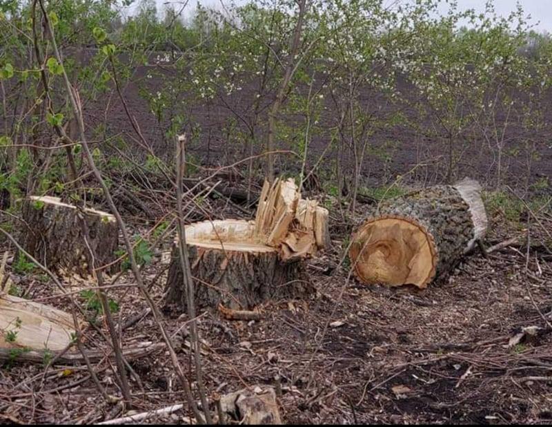 У Борзнянському районі невідомі незаконно зрубали 663 дерева