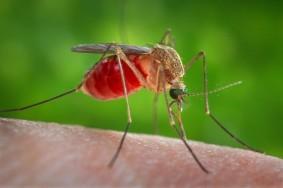 dlitelnost_zhizni_komara