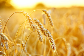 wheat-field-ears-golden-wheat-beautiful-sunset-landscape_168410-35