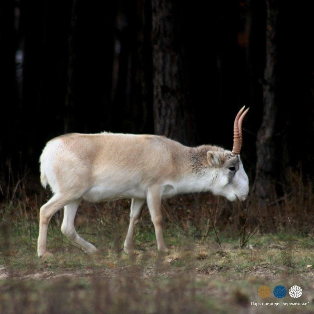 На Чернігівщині можна побачити антилопу з «хоботом» (Фото)