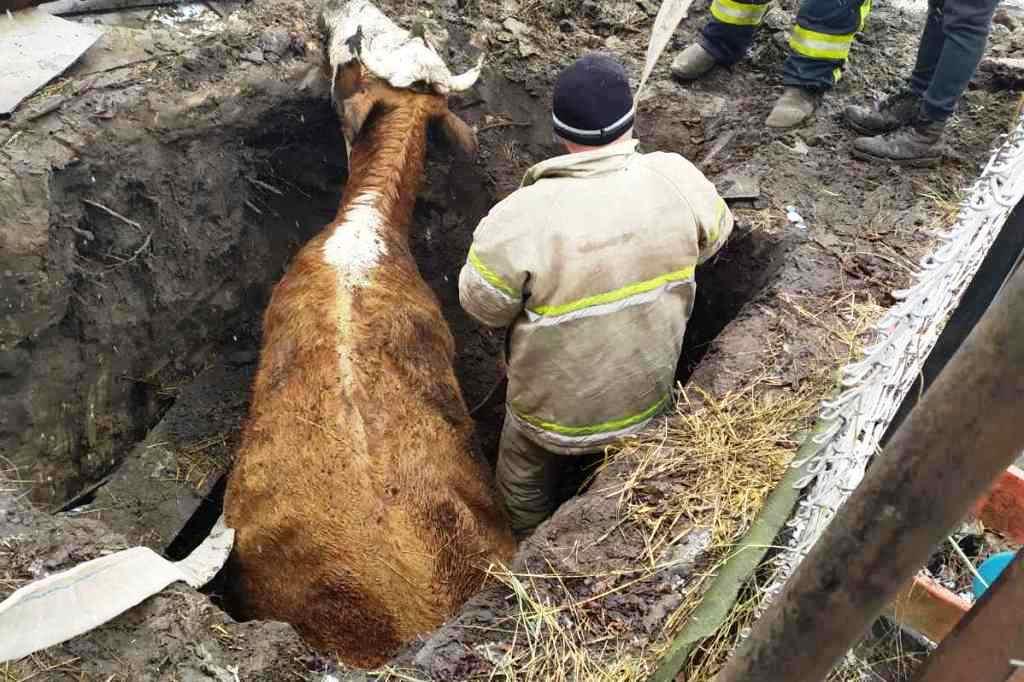 На Чернігівщині рятувальники вивільнили корову з півтораметрової ями (Фото)