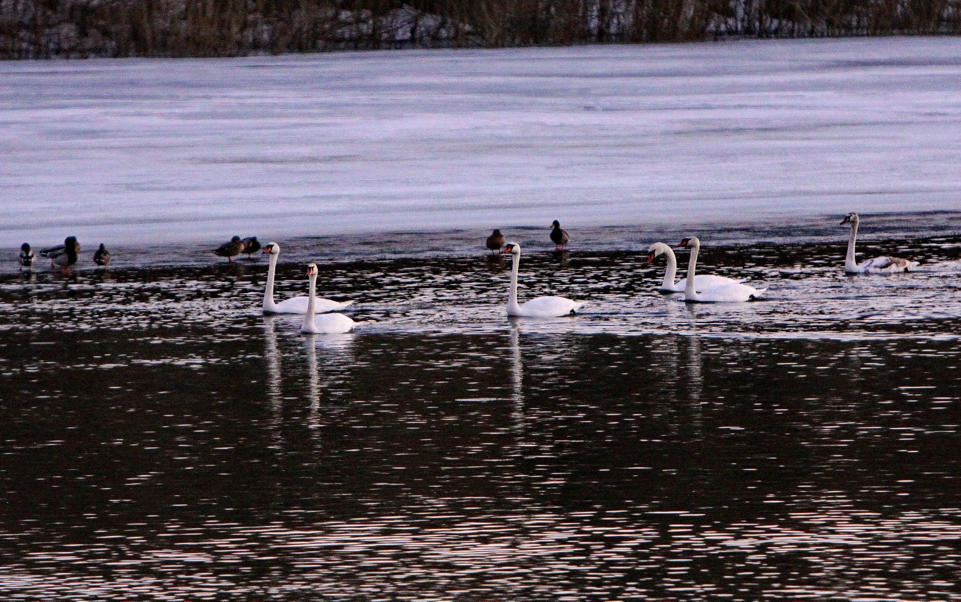 До Чернігова повернулися лебеді (Фотофакт)