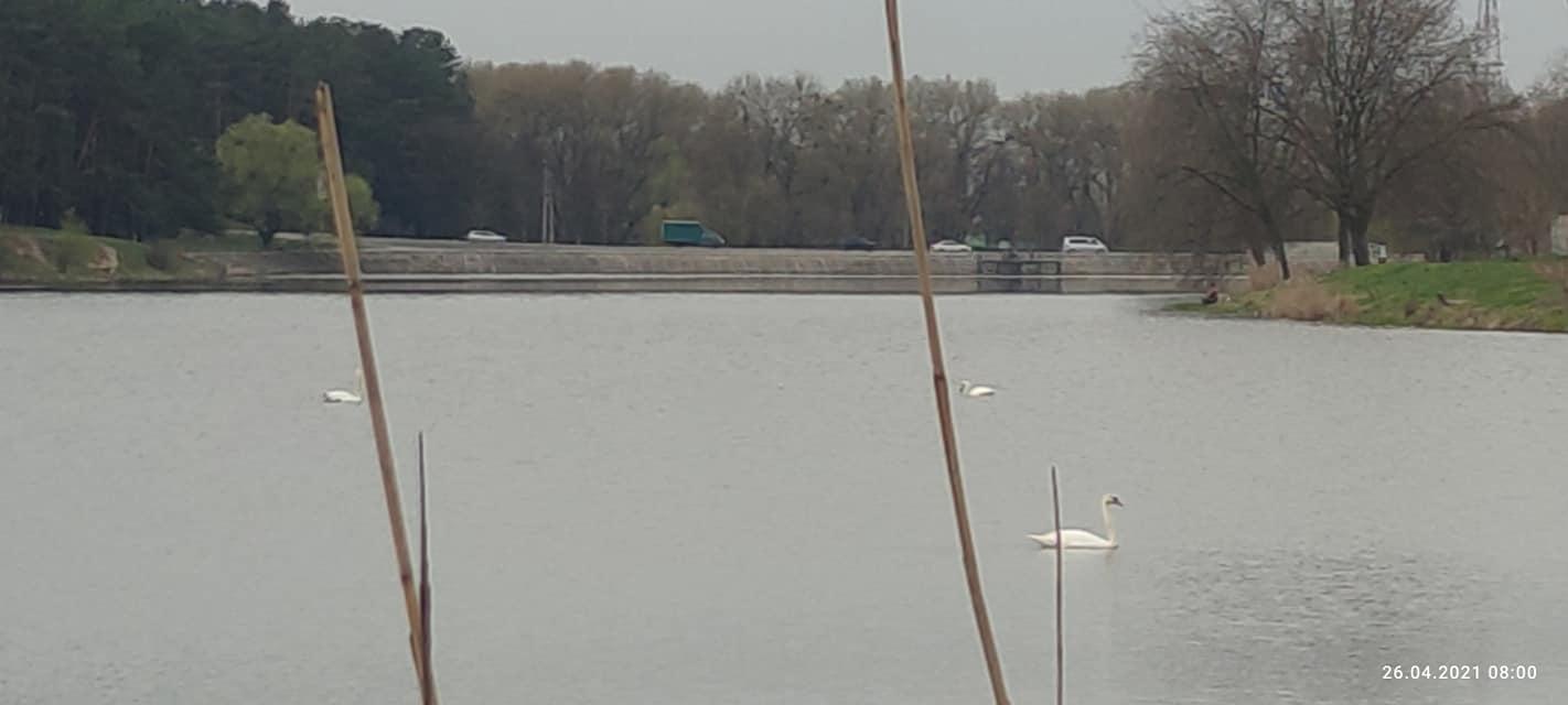 У Чернігові на Стрижні оселилися лебеді (Фотофакт)